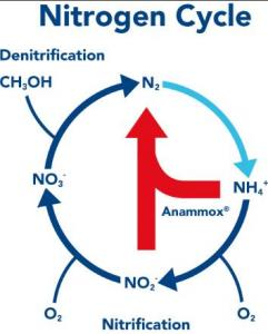 anammox_nitrogen_cycle.png