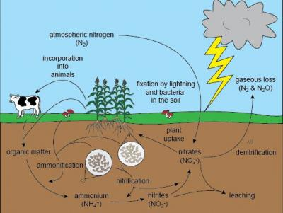 nitrogen_cycle_from_www.shmoop_1